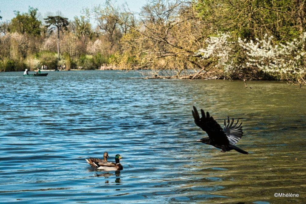 Le Corbeau et les Canards