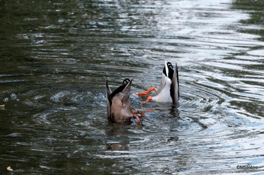 C'est la danse des canards