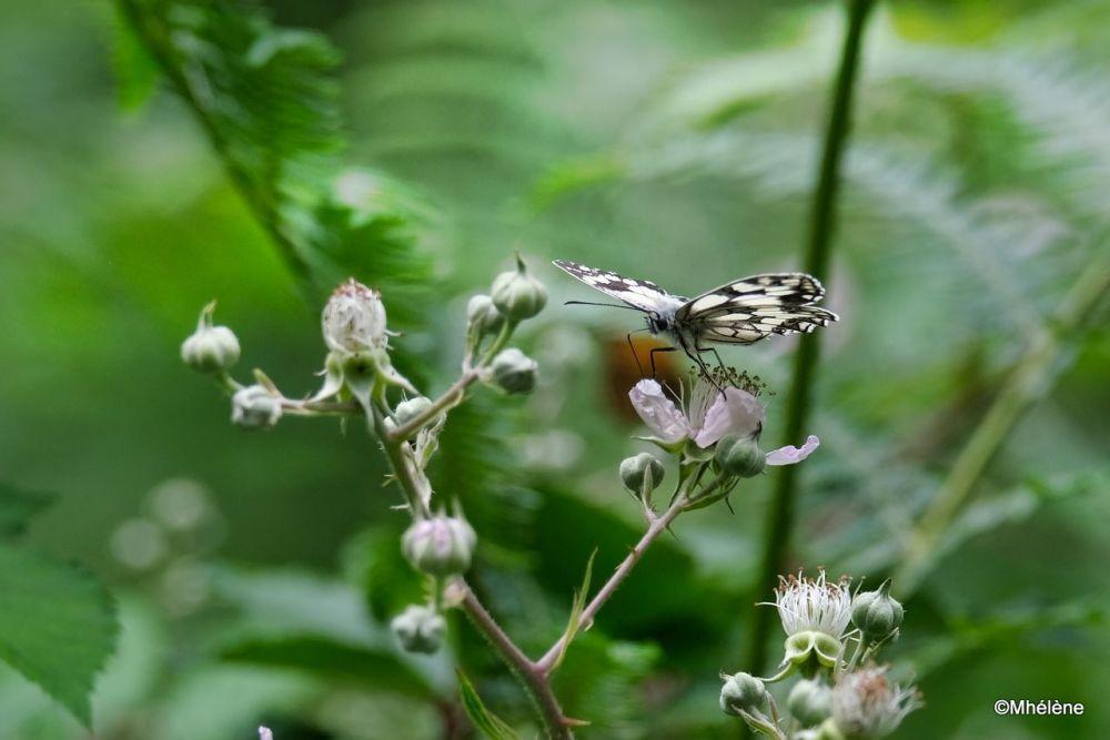 Les papillons 3