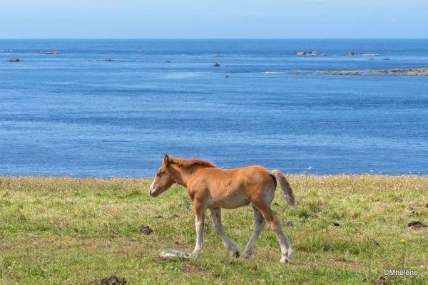 Les chevaux de Landunvez -2
