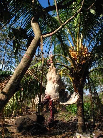 Dead chook, Hernandez' house, Isla de Ometepe