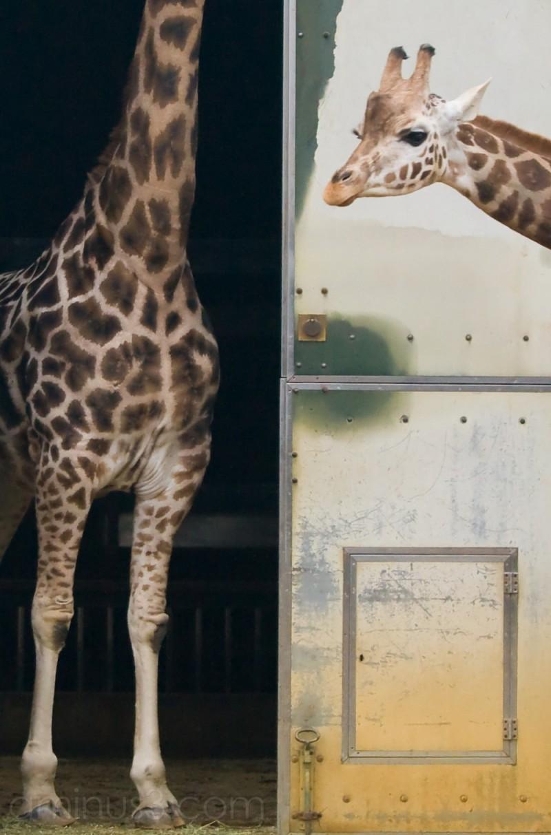 Giraffes at the London Zoo