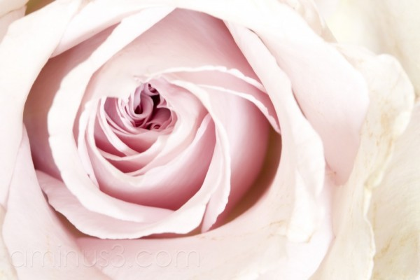 Rose, Rosa, Pink, Flower, Closeup, Close-up, Macro