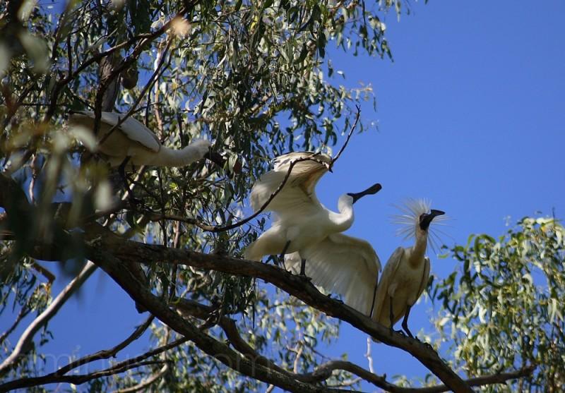 Spoonbill Ibis