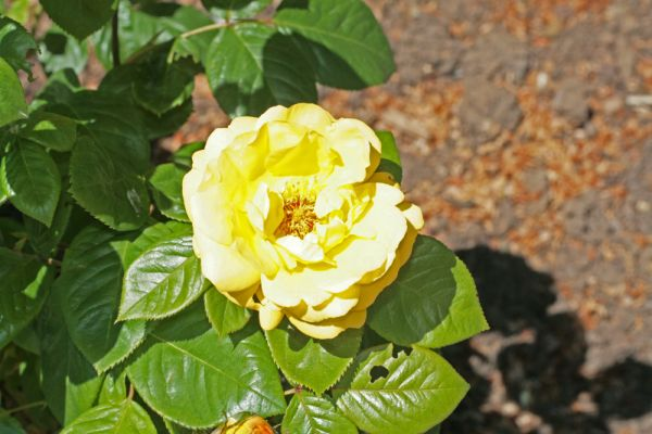 yellow rose over exposed