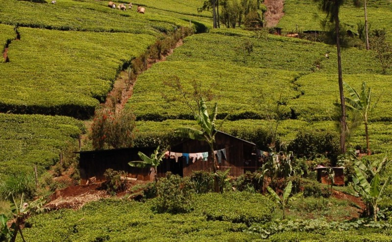 Smallholder tea farm in the Aberdares, Kenya