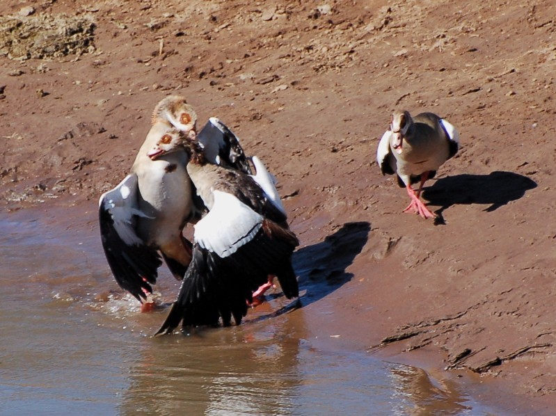 Male Egyptian geese fifghting for territory