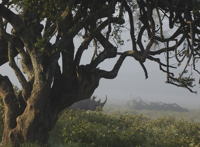 A rhinoceros partially obscured by a tree
