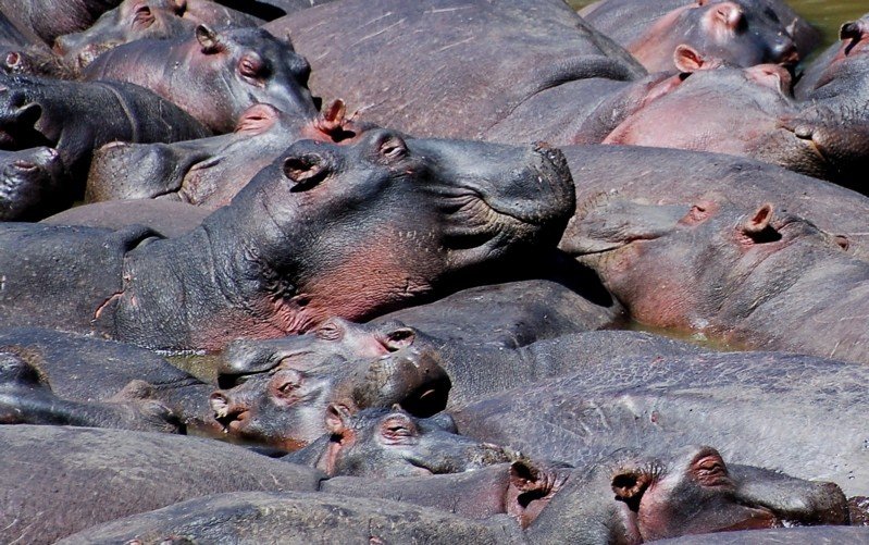 Large pod of hippos resting, Kenya