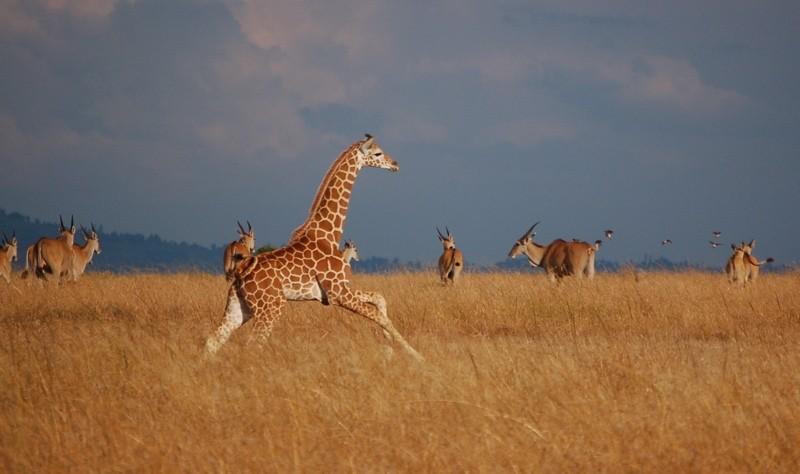 Young giraffe running across Laikipia plain, Kenya