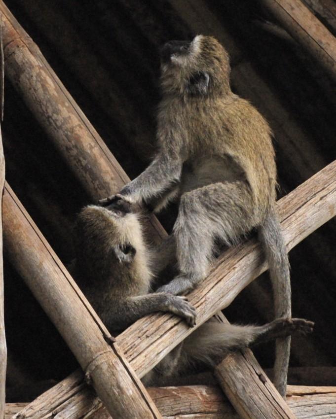 Young vervet monkeys
