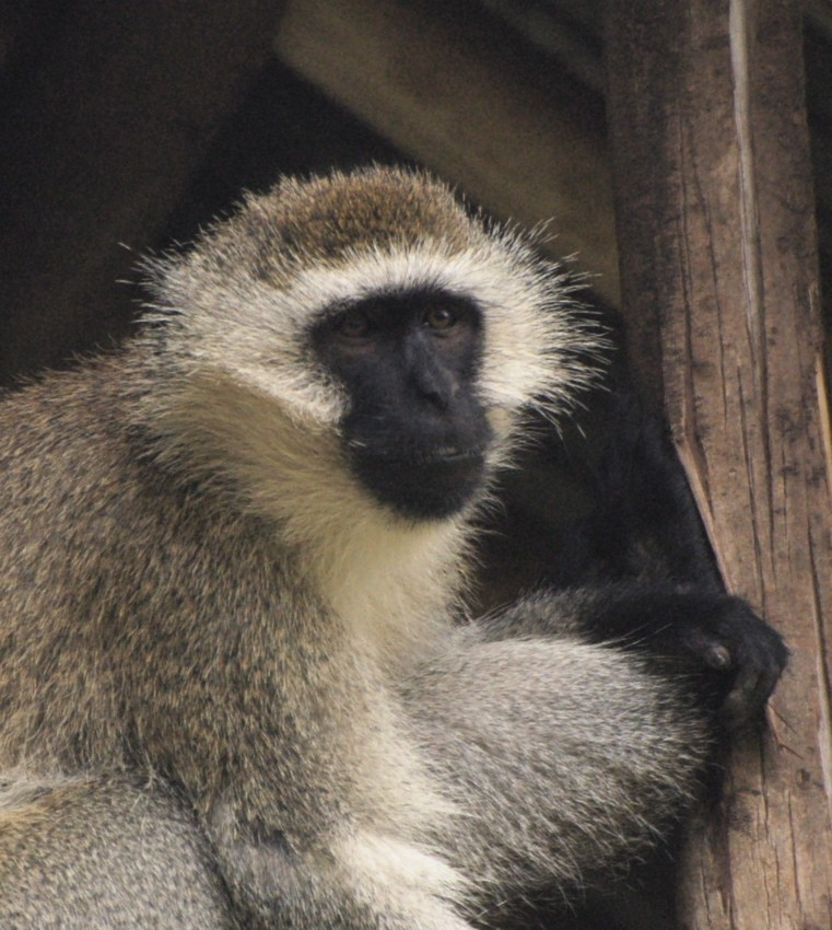 Male vervet monkey relaxing