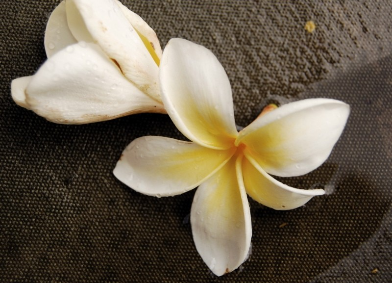 Frangipani blossoms brought down by the rain