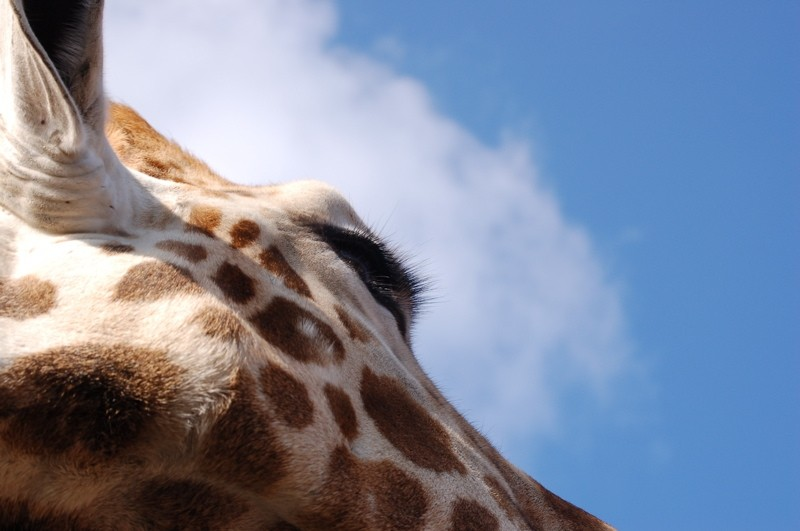 Close-up of a Rothschild's giraffe