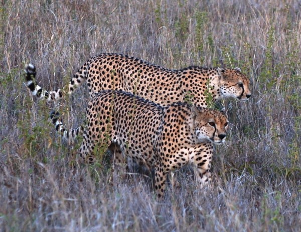 Two male cheetahs hunting
