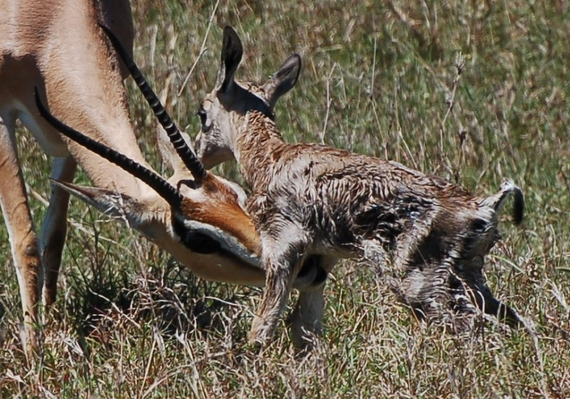 Newborn impala being cleaned by mother