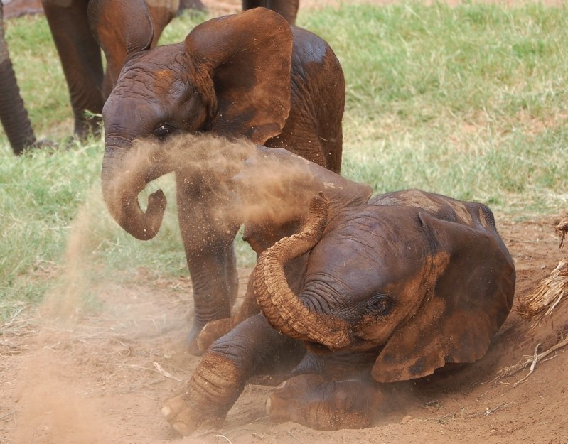 Young elephants give each other dust baths