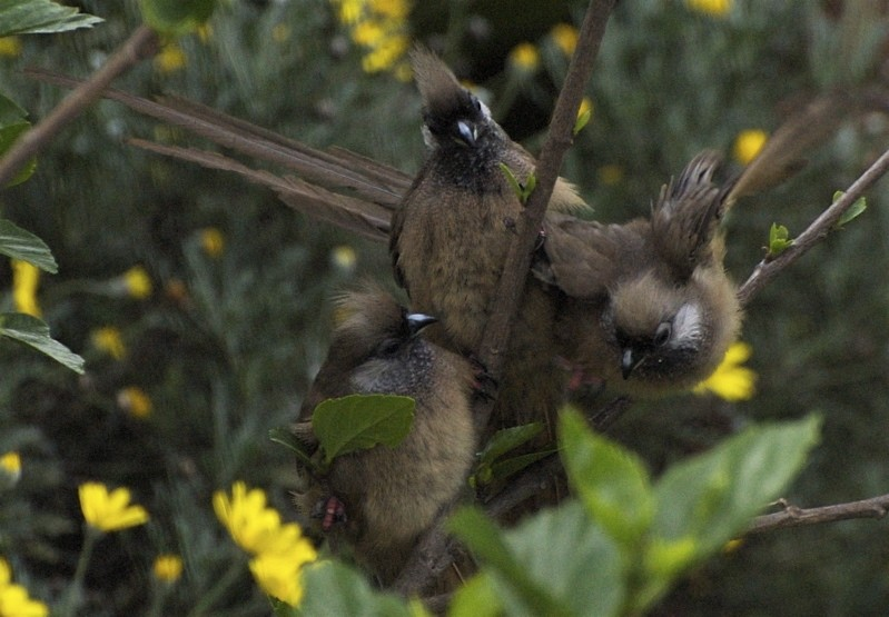 Three mousebirds