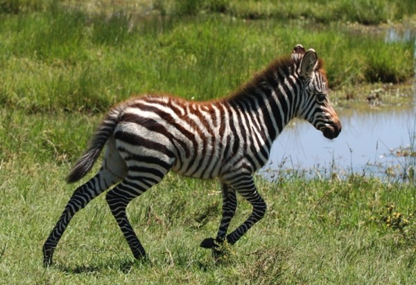 Zebra foal in Masai Mara