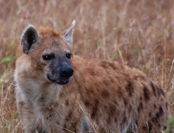 hyena in Masai Mara