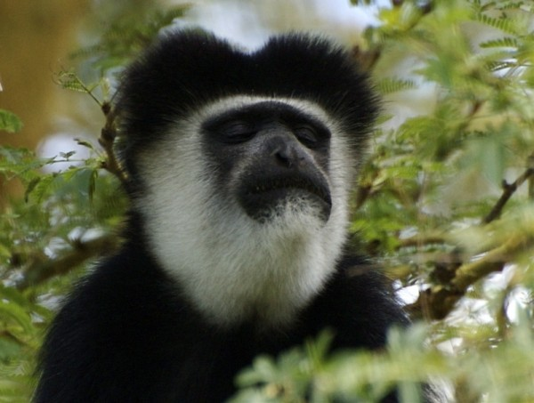 Colubus monkey in acacia tree