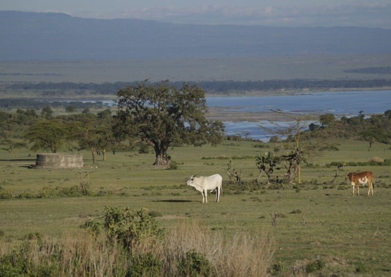 Cattle at pasture, early morning, Kenya