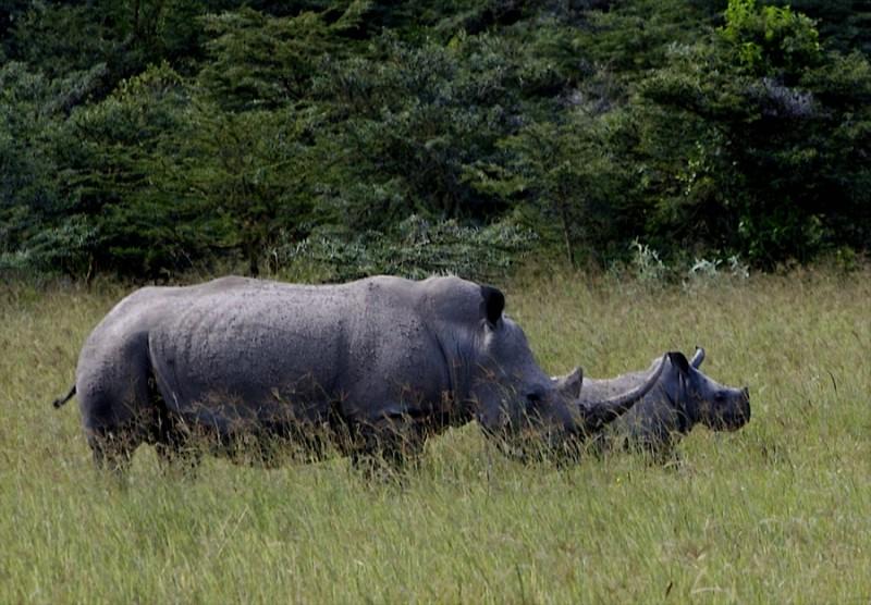 Mother Rhino with Calf at Lake Nakuru NP