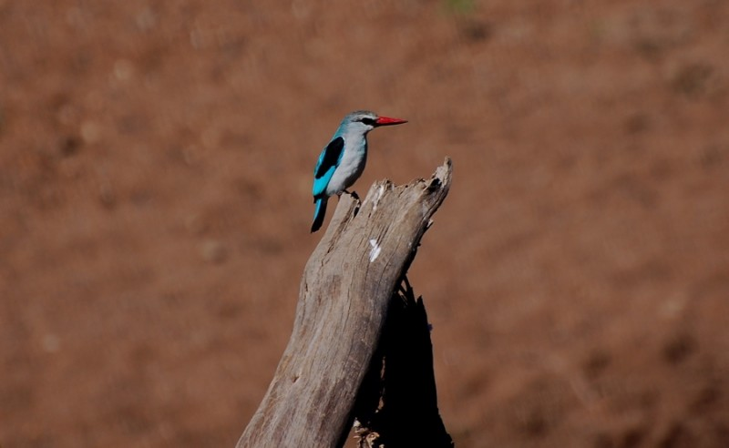 Kingfisher on the Mara River