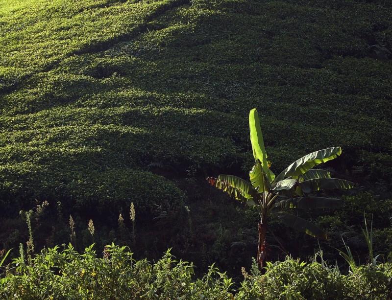 Smallholder tea farm in Kenya