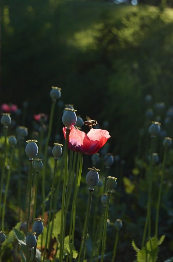 Honeybee & poppy blossom
