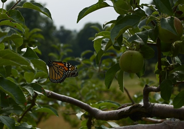 Monarch butterfly in the orchard