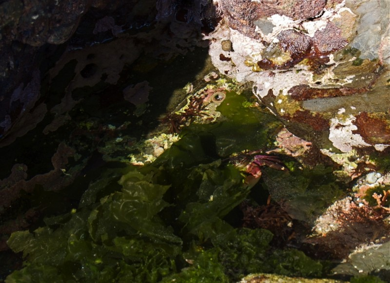 Crab in a tide pool at Point Lobos, California