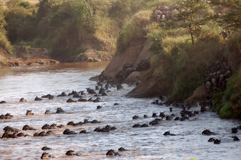 Wildebeest migration, Mara river