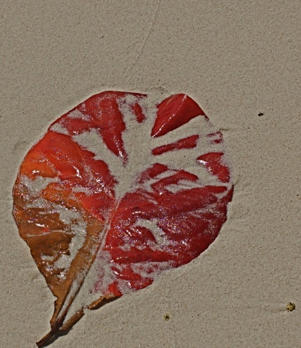 Leaf on a beach, Seychelles
