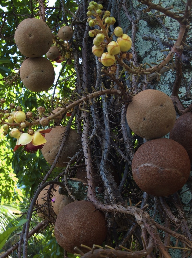 Cannonball tree fruit and blossom