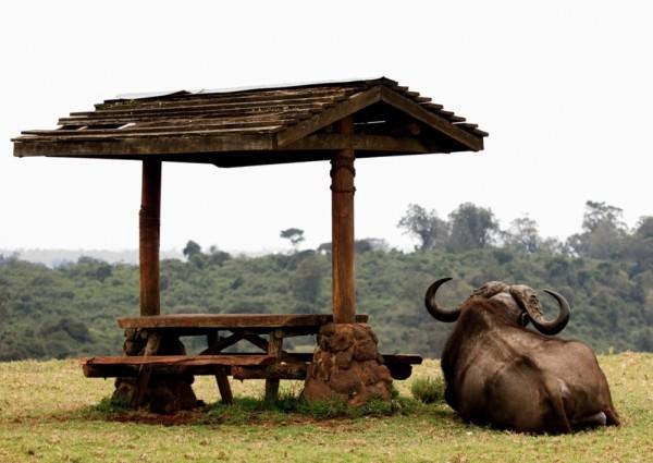 Buffalo enjoys view from picnic spot, Aberdares