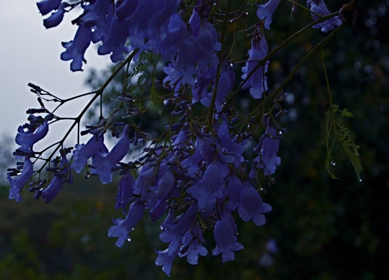 Jacaranda blossoms after evening rain
