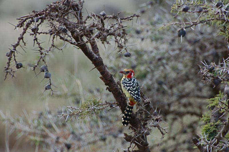 Red-and-Yellow Barbet, Lewa, Kenya