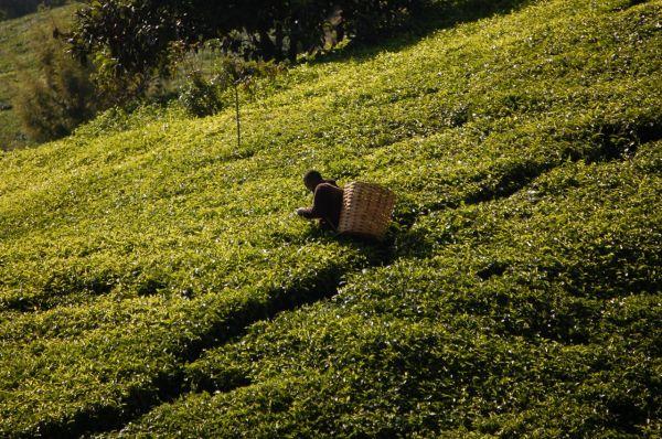 Tea picker in Kenya