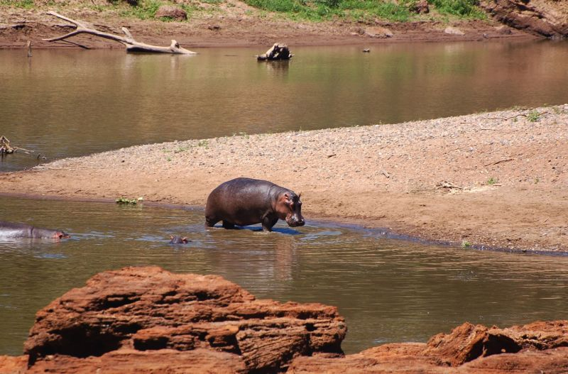 Hippo wading in the Mara River, Kenya