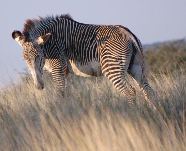 Grevey's zebra