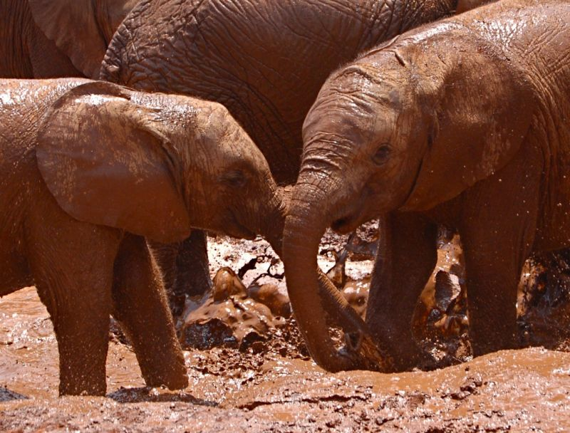 Young elephants playing at elephant orphanage