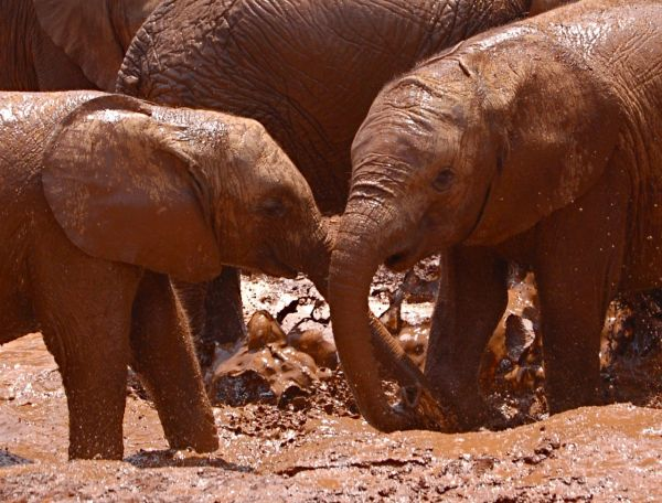 Young elephants playing at elephant orphanage