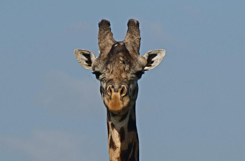 Young male maasai giraffe