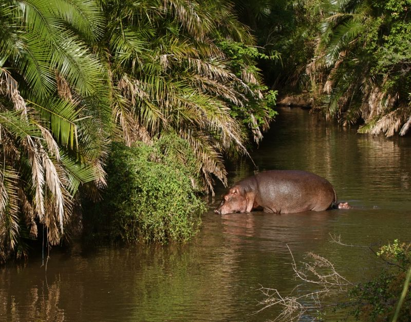 Hippo mother and baby in Meru NP, Keya