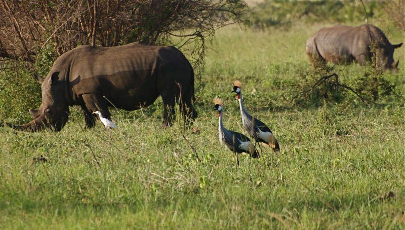 Rhinos and African Crowned Cranes, Meru NP