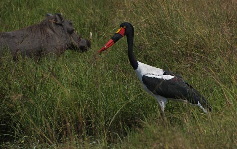 Saddlebill Stork and warthog, Masai Mara Reserve