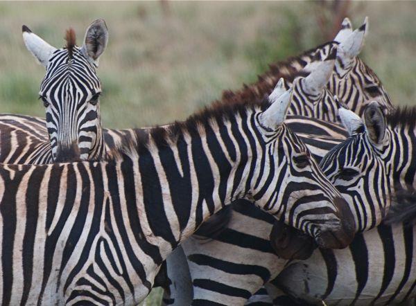 Zebra herd, Meru National Park, Kenya