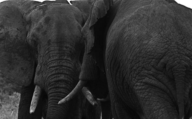 Two elephants greeting each other, Meru NP Kenya