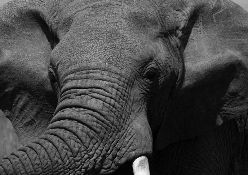 Male elephant Masai Mara Kenya